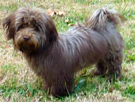 Premier Havanese Dogs and Puppies - Home
