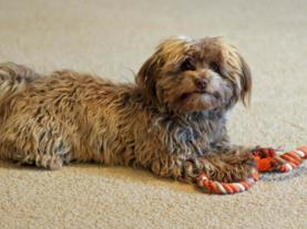 Premier Havanese Dogs And Puppies Home