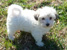 Previous Havanese Puppy Litters